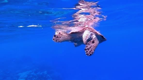 Thumbnail for Sea Turtle Breathing at Water Surface
