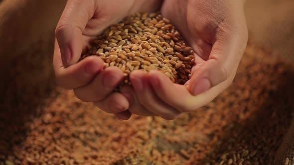 Thumbnail for Hände halten Weizenkorn