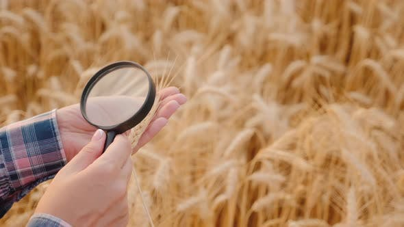 Cover Image for The Farmer Examines Ears of Ripe Wheat Through a Magnifying Glass