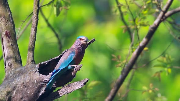 Thumbnail for Indian roller in Bardia national park, Nepal