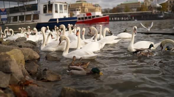 Thumbnail for Swans on the Banks of the Vltava in Prague