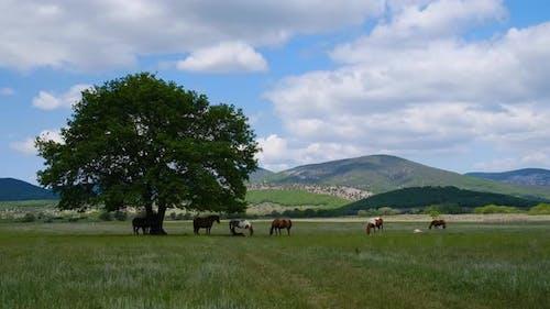 Horses Grazing in a Field Against the Big Oak