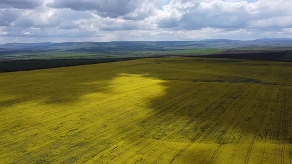 Bright Yellow Flower Fields in the Shade of Moving Gray Clouds