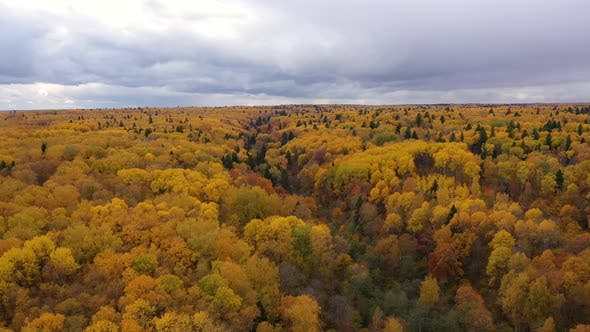 Thumbnail for Crowns of Trees with Yellow Foliage. Deciduous Forest in the Fall, Aerial View of the Forest Under