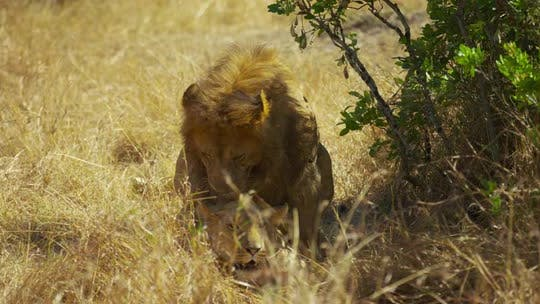 Thumbnail for Lions mating in the savanna