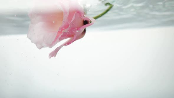 Thumbnail for Beautiful, Pale Pink Flower with Floats in Fresh Clear Water. A Trickle of Water Flows From Above