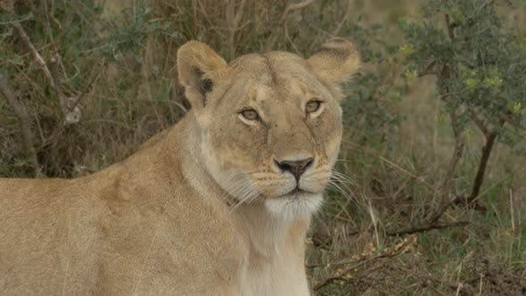Close up shot of a lioness