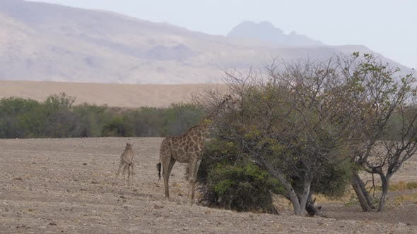 Giraffe eats from a tree on the savanna