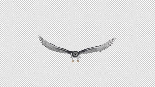Thumbnail for Harpy Eagle - Flying Loop - Front View
