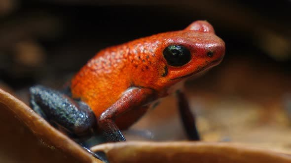 Thumbnail for Blue Jeans Poison Dart Frog in its Natural Habitat in the Caribbean