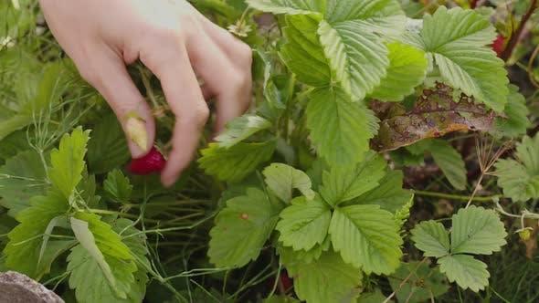 Bauer pflückt rohe Erdbeeren im Garten