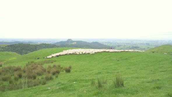 Fast Moving Sheep in Green Organic Farm in New Zealand Nature