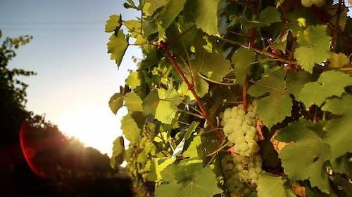 White Grape of the Vineyard at Sunset