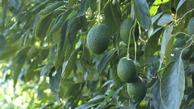 Avocados in a Avocado Tree