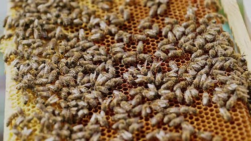 Working bees on honeycomb. The beekeeper has control over a framework with honey.