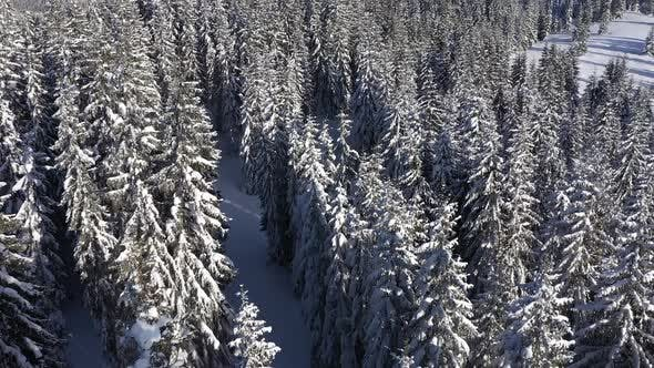 Thumbnail for Snow Covered Pine Forest