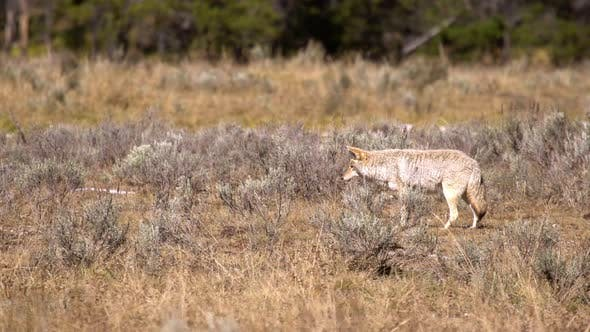 Coyote slowly walking while it is listening for gophers it is hunting