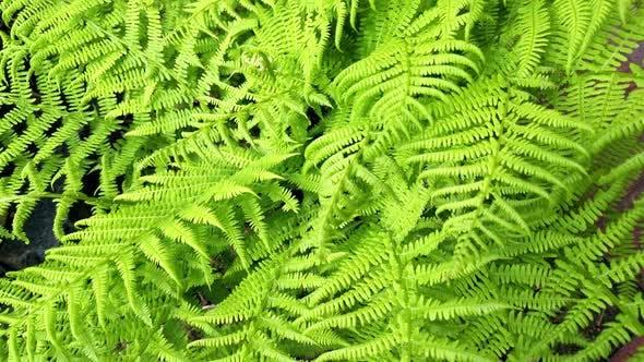 Thumbnail for Blätter sind grüne Farne, die allgemein als Zierpflanzen im Garten bekannt sind