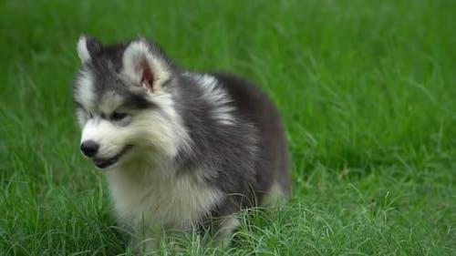 Cute Siberian Husky Puppy Walking On Green Grass