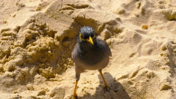 Thumbnail for Common Myna Acridotheres Tristis