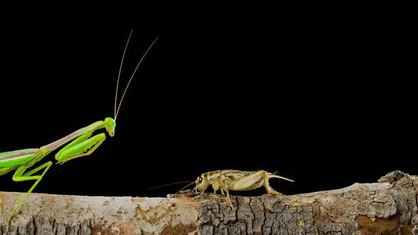 Macro shot of a Praying Mantis catching a cricket