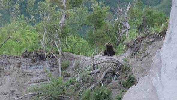 Brown Bear Sitting on a Hill in Forest