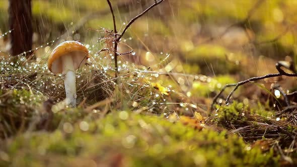 Thumbnail for Amanita Muscaria, Fly Agaric Mushroom In a Sunny Forest in the Rain.