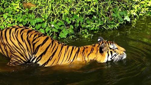 slow-motion of Bengal tiger (Panthera tigris tigris) was swimming in pond