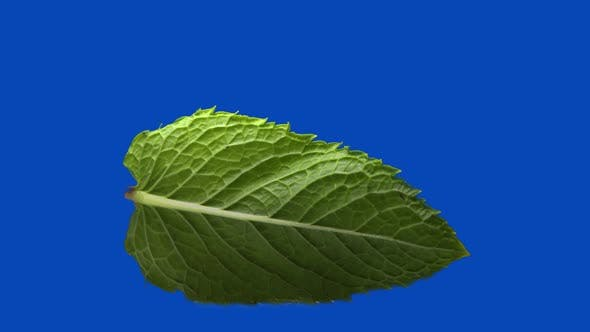 Thumbnail for the Mint Leaf Rolling on Blue Chromakey Background