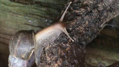 Giant Snail Crawling in a Terrarium