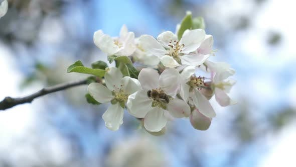 Honeybee Pollinating White Apple-tree Flowers in Sunny Spring