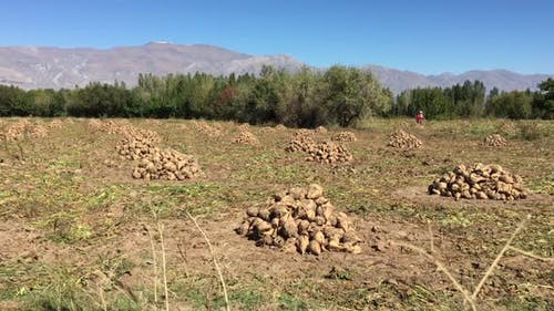 Heap Of Harvested Sugar Beet By Field In Autumn