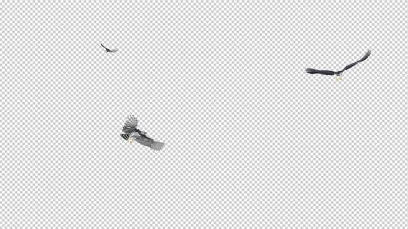 Three Harpy Eagles - Flying Round Loop