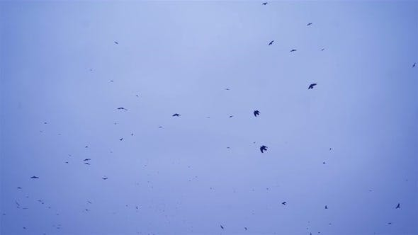 Thumbnail for Crows in Flight