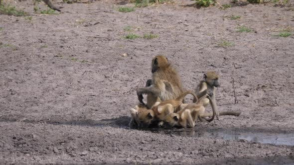 Thumbnail for A Troop of chacma baboons drinking from a waterhole