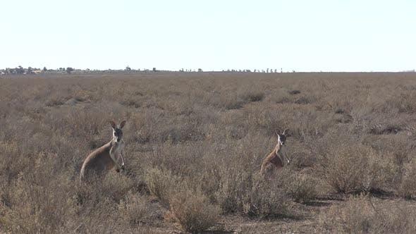 Red Kangaroo Female Adult Pair Alarmed Spooked Frightened Running Fleeing