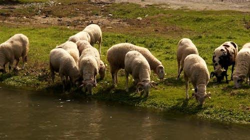 Die Säugetier Schafe in der Nähe des Flusses