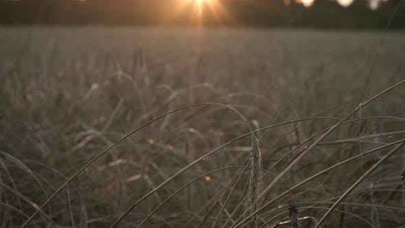 Thumbnail for Organic Rye Field Meadow at Sunset