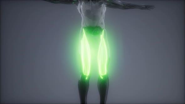 Thumbnail for Oberschenkelmuskulatur - Visible Muscle Anatomy Map