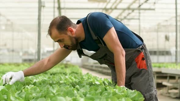 Cover Image for Agronomist Worker Inspecting Organic Green Salad in Greenhouse