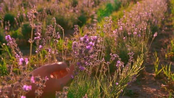 Thumbnail for b Roll Man Holding Bluish-purple Lavender Bush