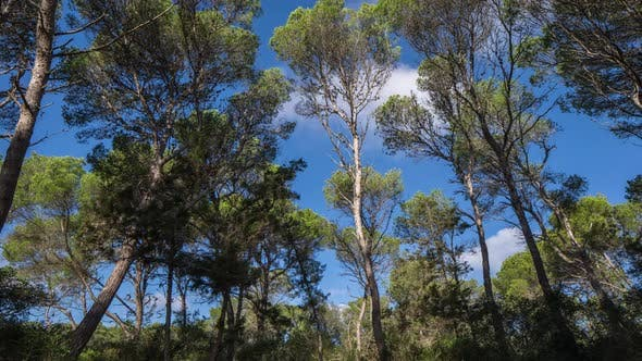 Pines trees forest mallorca nature environment