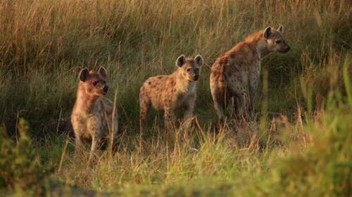 Group of Spotted Hyenas