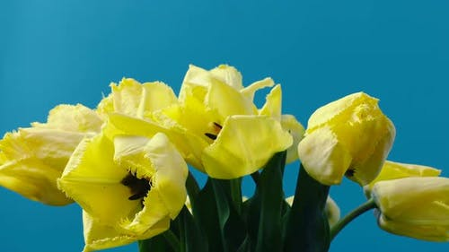 Tulpen Öffnungsknospen