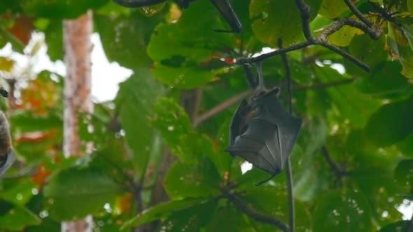 Thumbnail for Fliegende Füchse hängen an einem Baum Zweig und Abwaschen