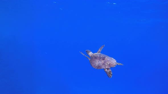 Thumbnail for Tropical Turtle Blue Sea Water