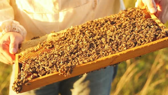 Close-up of Hands Beekeeper Inspects of Beehive Frame with Bees on It.