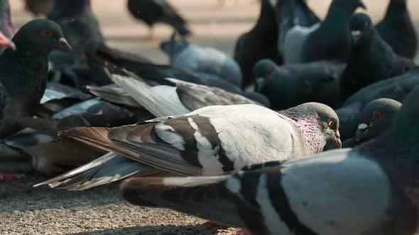 Thumbnail for Pigeon Flock Pecks Grain On The Pavement