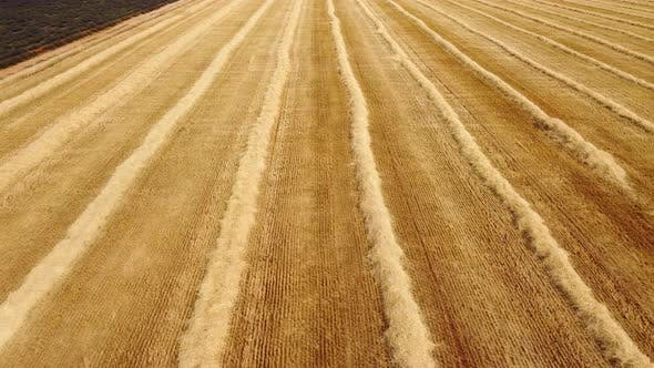 Harvested Wheat Crop Agriculture Field