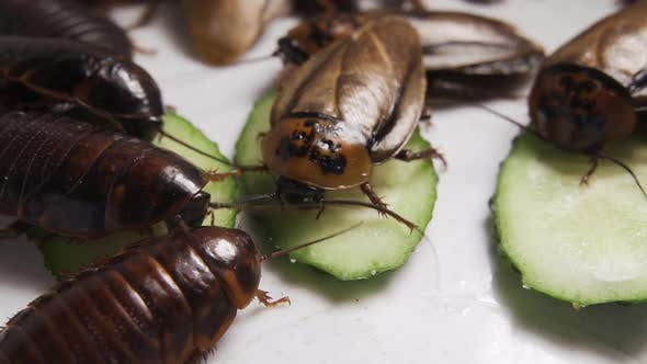 Lots of Cockroaches Eat Fresh Vegetables